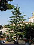 L'ALBERO DI NATALE VIVENTE PIÙ GRANDE D'ABRUZZO